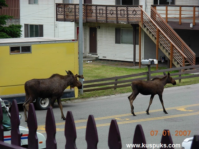 Many Moose Walk In Front of Our House